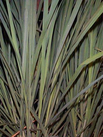 Hierba luisa lemon grass institut tradi n peru nsk for Salsa de hierba luisa